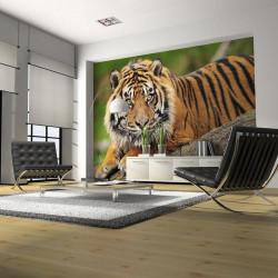 Fototapet - Sumatra tiger