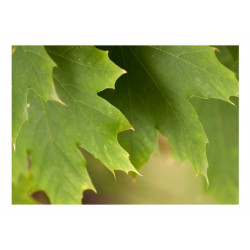 Fototapet - Leaves