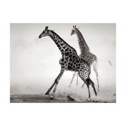 Fototapet - Giraffer