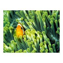 Fototapet - Anemonefish