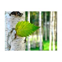 Fototapet - Birch blad