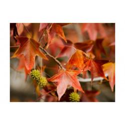 Fototapet - Chestnut