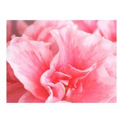 Fototapet - Pink azalea...