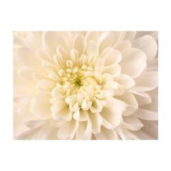 Fototapet - Hvid dahlia