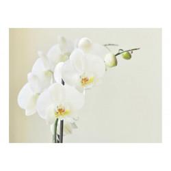 Fototapet - Hvid orkidé