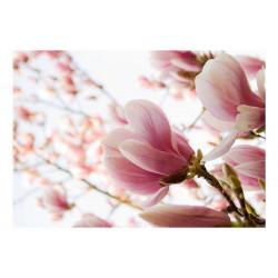 Fototapet - Pink magnolia