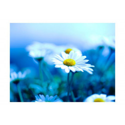 Fototapet - Daisy på en blå...