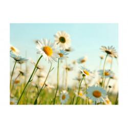 Fototapet - Daisies -...