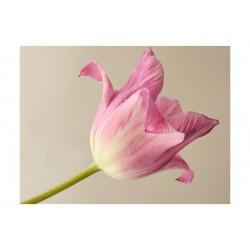 Fototapet - Pink tulip