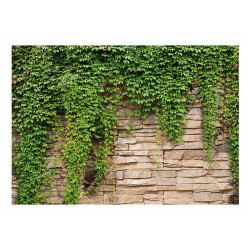 Fototapet - Ivy wall